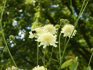 Pollinator on a Giant Scabiosa flower