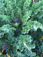 _purple sprouting broccoli.JPG