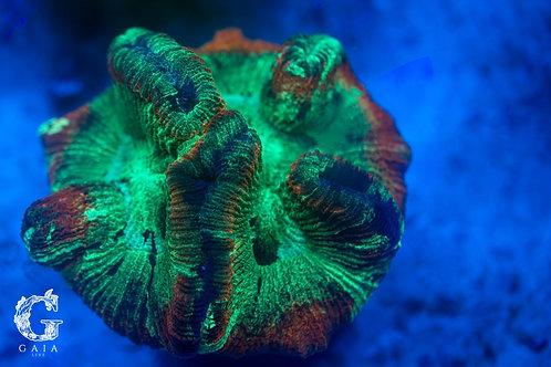 aussie rainbow trachyphyllia
