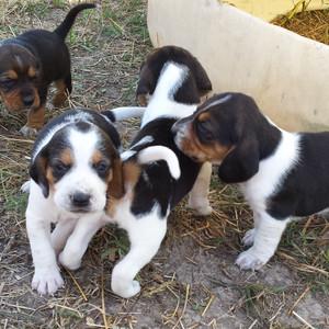Best 25  Pocket beagle ideas on Pinterest | Beagle puppies, Beagle ...