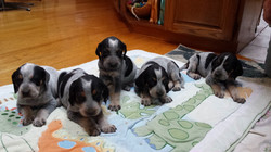 Bluetick litter (2) (1280x720)