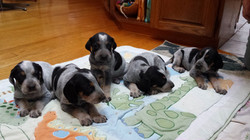 Bluetick puppy litter (1280x720)