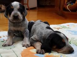 bluetick puppies (1280x957)
