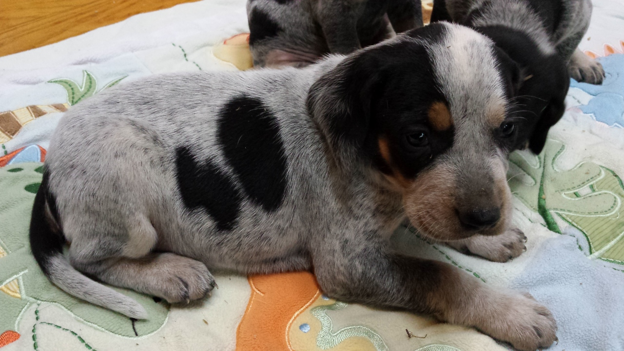 female bluetick puppy (1280x720)