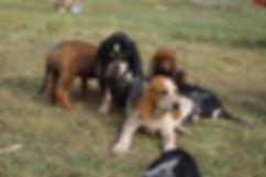 cute hound pups.JPG