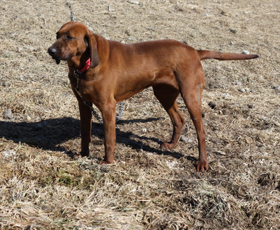 GINGER COONHOUND .JPG