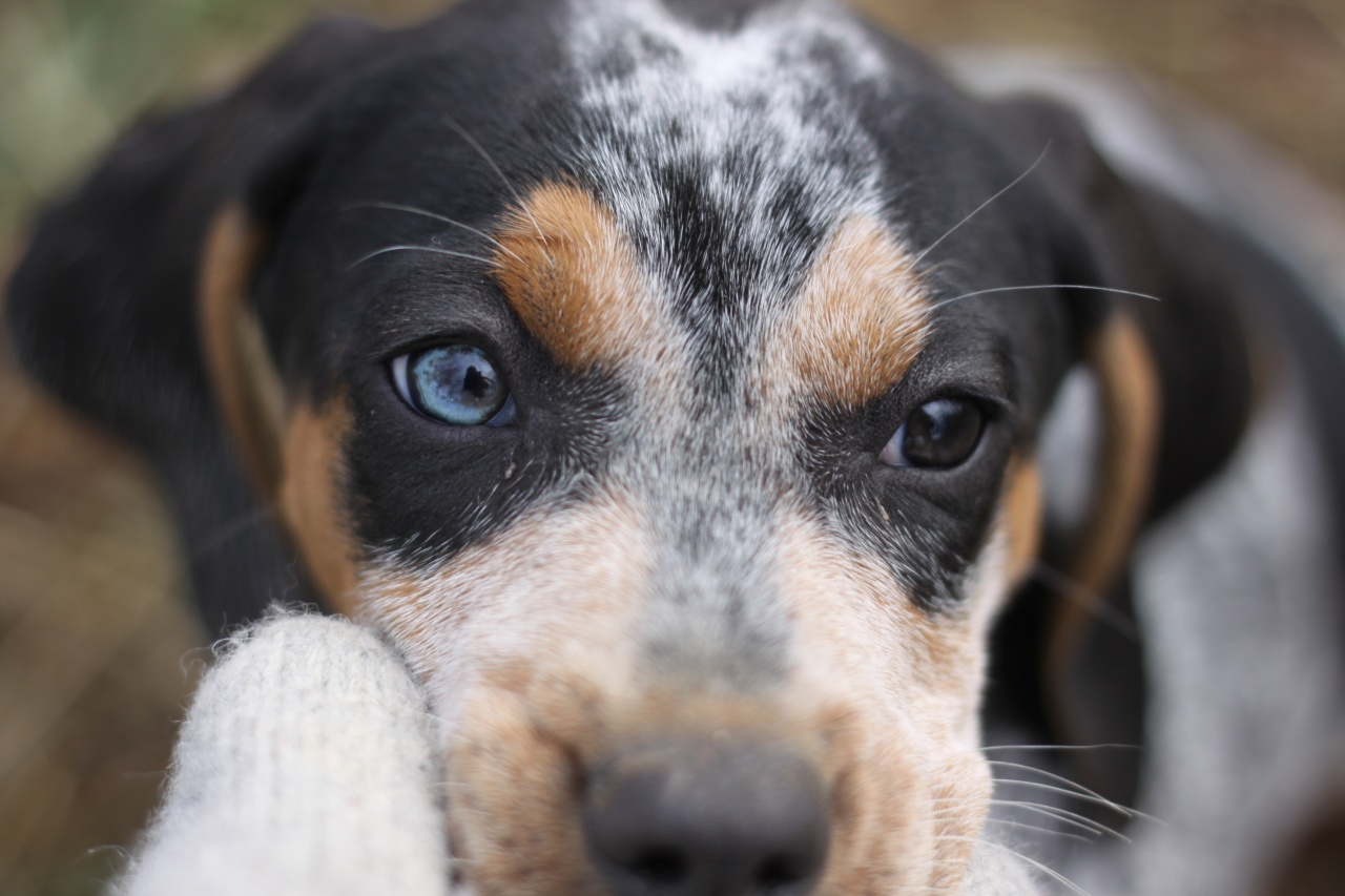 blue eye coonhound