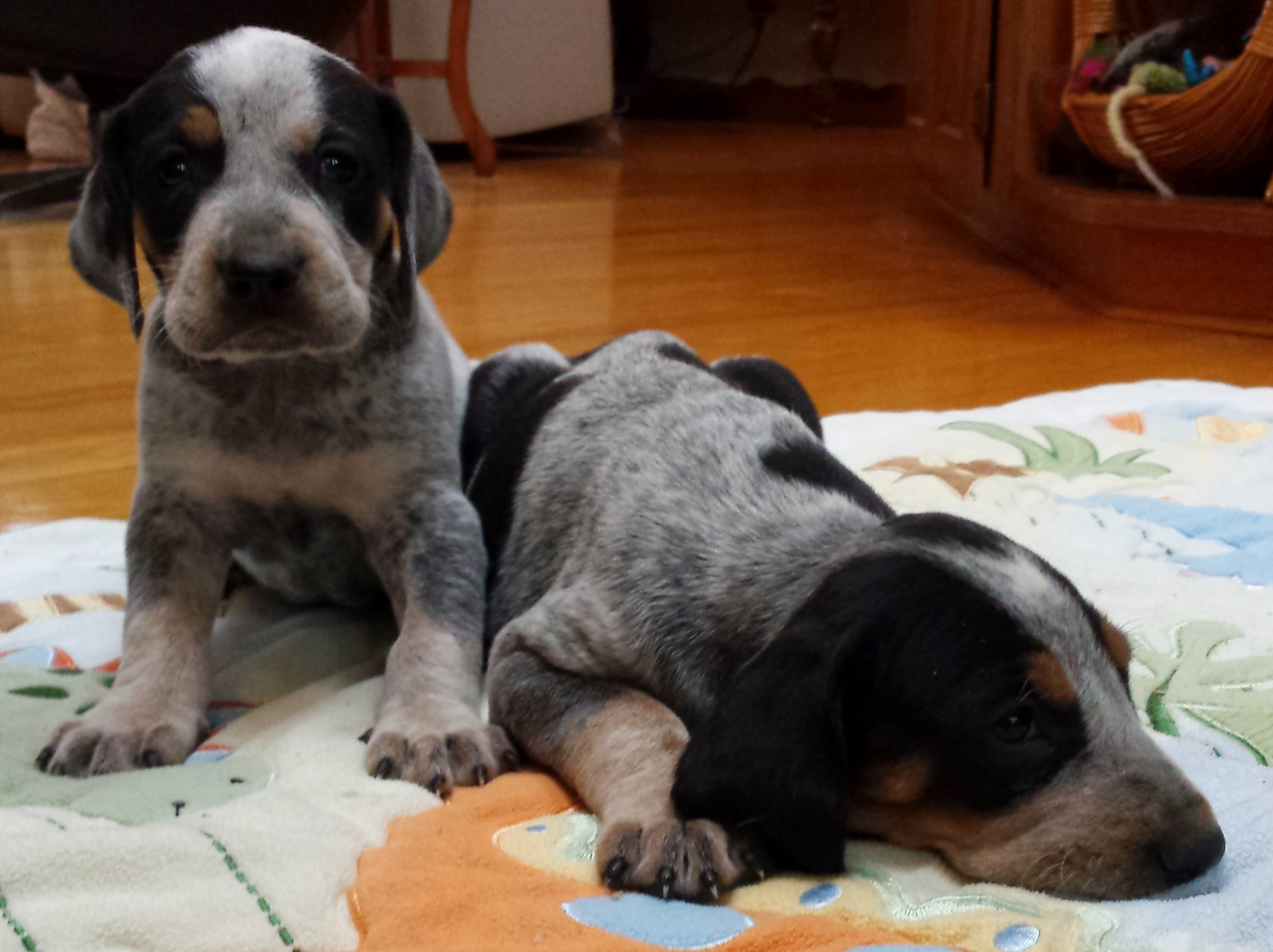 bluetick puppies