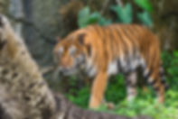 Tiger stands at something in the forest.