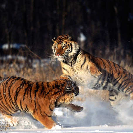 When Tigers Play, their Blades are Sheathed