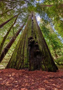 Bull Creek Split Tree