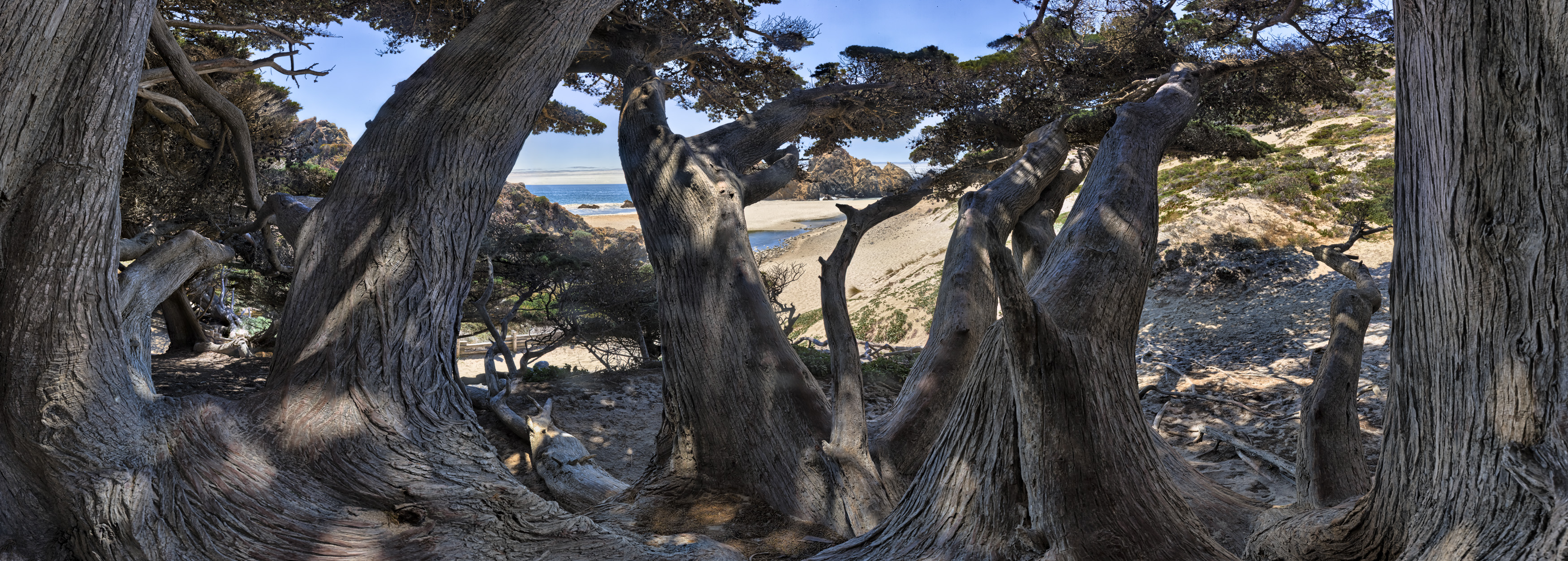 Pfeiffer Beach Cypress
