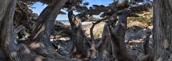 Pfeiffer Beach Cypress