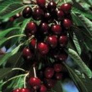 Lapins - Sweet Cherry