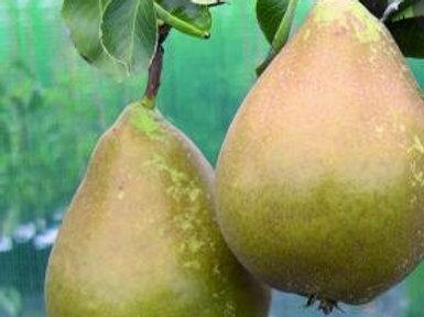 Winter Cole Pear