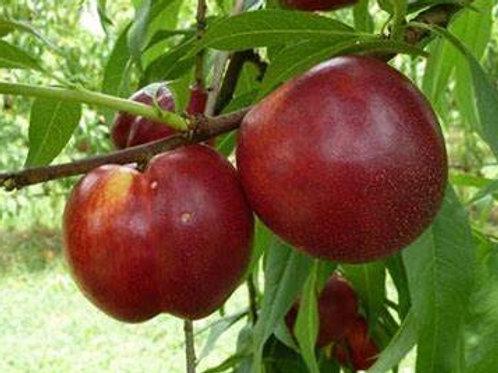 Crimson Baby Nectarine