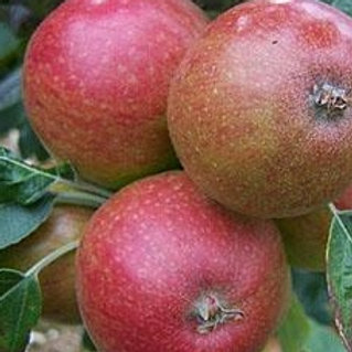 Tremletts Bitter Cider Apple