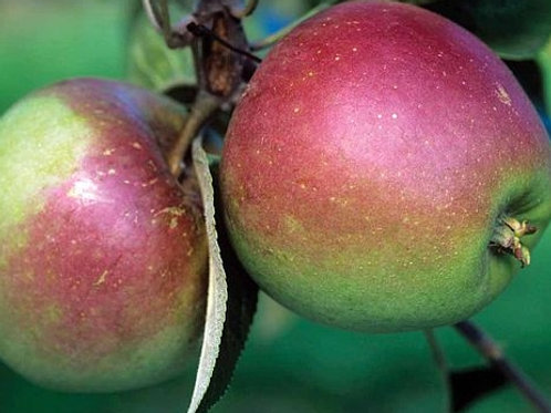 Tydermans Late Orange Apple