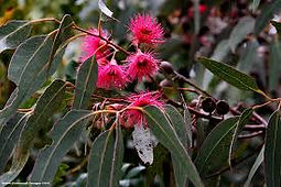 wintering flowering gum2.jpg
