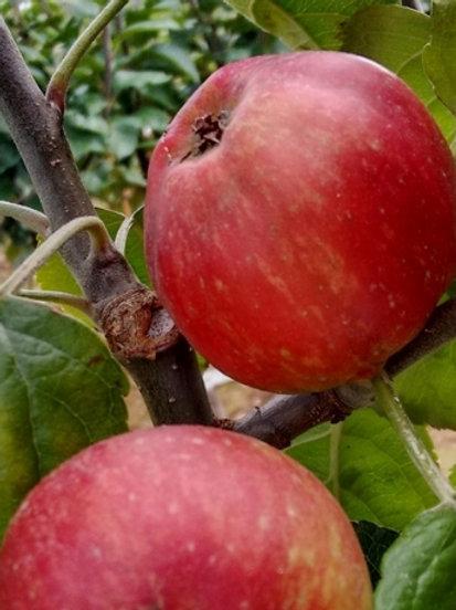 Knotted Kernal Cider Apple