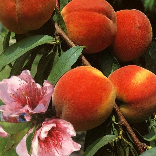 Redhaven Peach