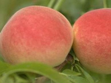 Mellow Yellow Peach