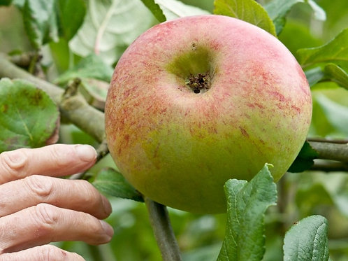 Peasgood Nonsuch Apple