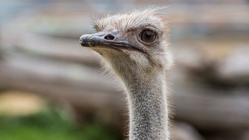 Ostrich _.jpg