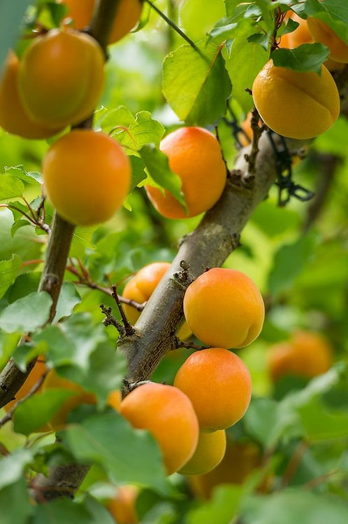 Cluthagold Apricot