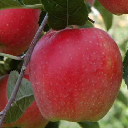 Hetlina Apple