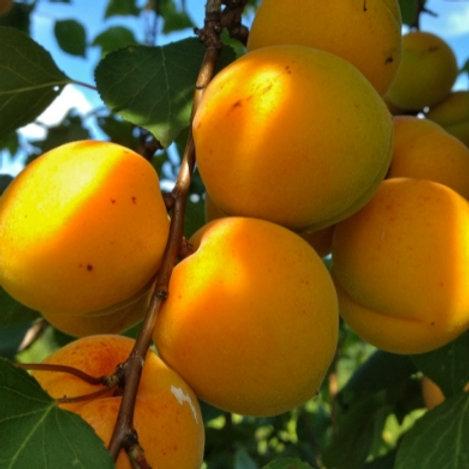 Raglan Seedling Apricot