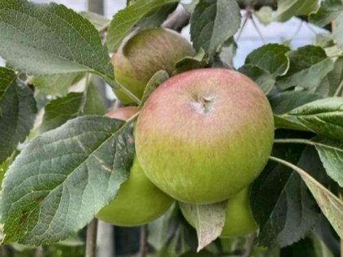 Wandin Glory Apple