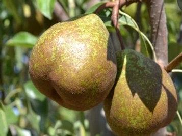 Winter Nelis Pear