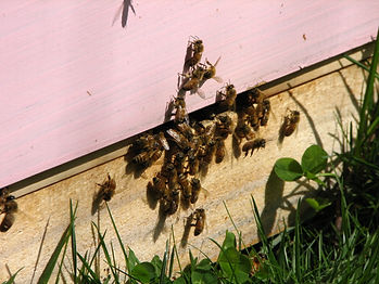 Bees on a hive at DownUnder Honey
