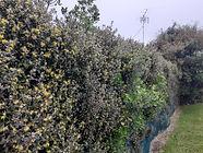 Corokia hedge