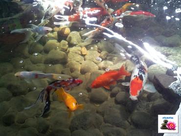 תצוגה מרהיבה של דגי בריכה