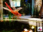שפירית אדומה