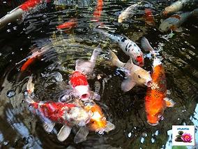 דגי קוי