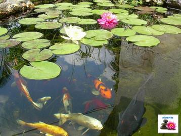 דגי קוי ושושנות מים