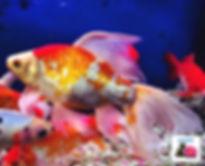דג זהב.jpg