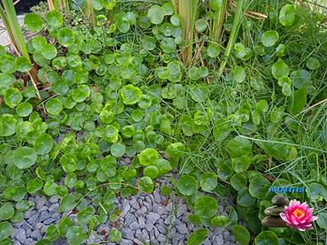 צמחי בריכות נוי 1 (3).png