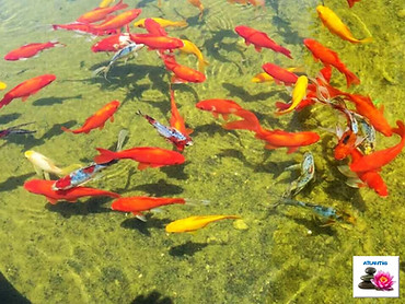 דגי זהב הופכים את הבריכה למרהיבה