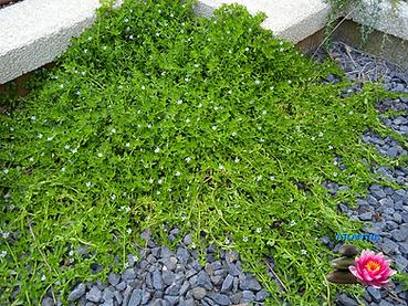 צמחי בריכות נוי 1 (4).png