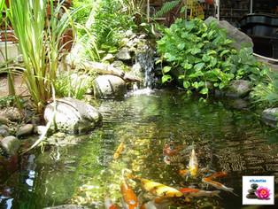 דגי קוי בבריכה במראה טבעי