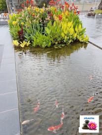 דגי קוי ופריחה בווטלאנד