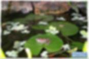צפרדע על עלה נימפאה