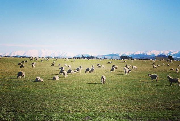 Sheepies and snow.jpg.jpg.jpg