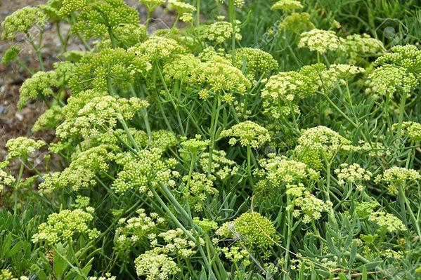 85310945-sea-fennel-flowers.jpg