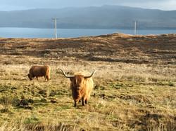 Vaches scottish cow Highland Scotland