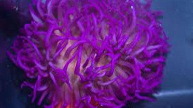 Long Tentacle Anemone: Purple Medium to Large
